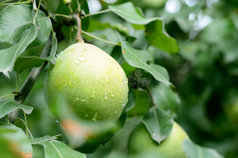 Ripe large pear under rain drops on a tree with green leaves stock photography