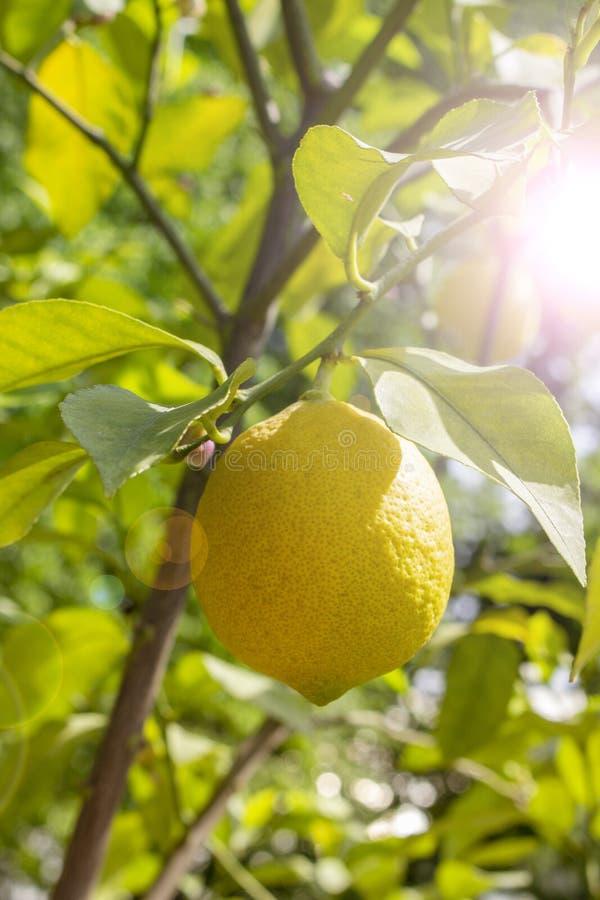 Ripe lemon fruit hanging on a branch, sun flare. Yellow fruit lemon citrus natural fresh with leaves. Lemon Tree Fruits royalty free stock images
