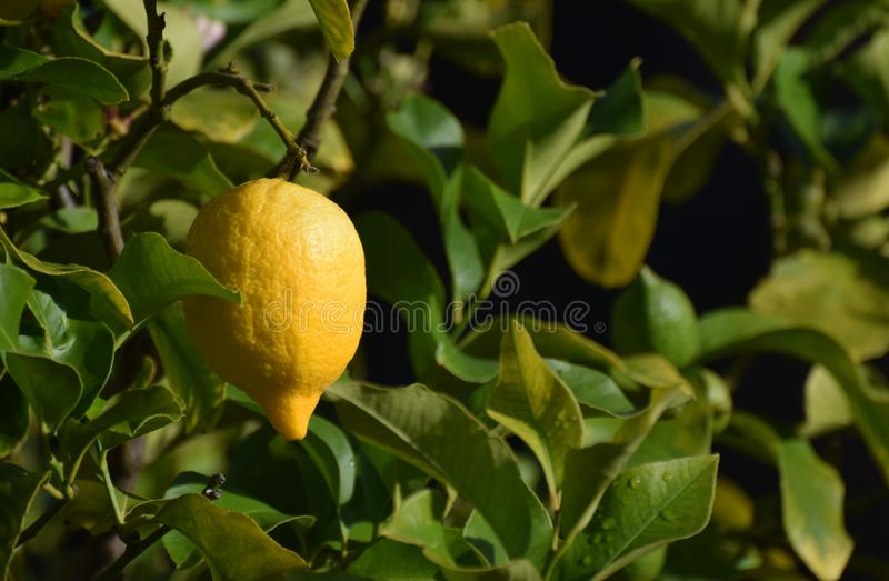 Ripe lemon fruit hanging on a tree. A bright yellow ripe lemon growing on a lemon tree in a lemon grove. The image has an area suitable for copy space stock images