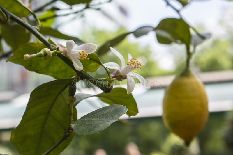 Ripe lemon fruit hangs on a branch next to the flowers of a lemon tree. Blooming and fruiting lemon tree. Ripe lemon fruit hangs on a branch next to the flowers stock images