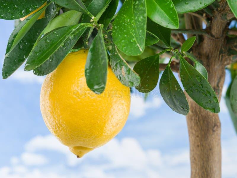 Ripe lemon fruit on the tree. Blue sky background.  royalty free stock images