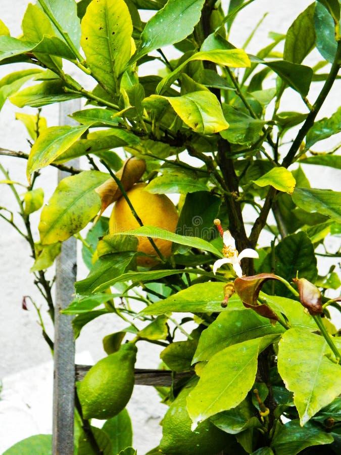 Ripe lemon hanging on a tree branch. Lemon tree with fruits. Organic lemon. stock photo