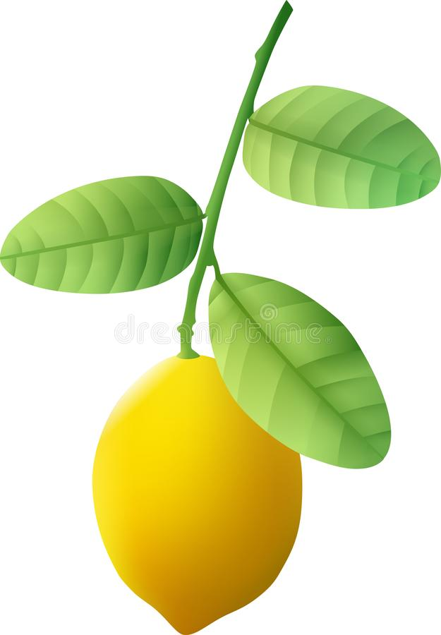 A ripe lemon weighs on a green branch royalty free stock photo