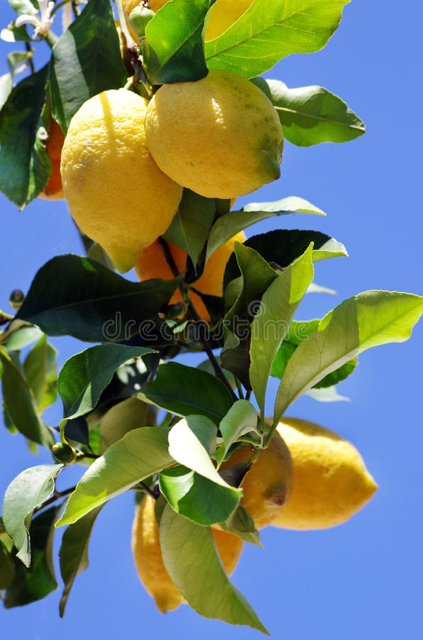 Download Ripe lemons on blue sky stock photo. Image of health - 31374652