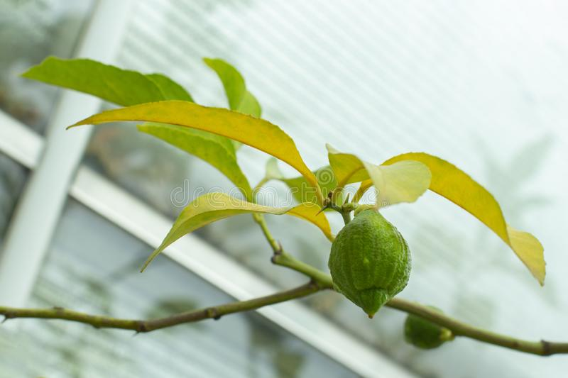 Ripe lime hanging on a branch of a citrus tree. Natural fresh lime fruit, sour taste, healthy vitamin C stock photo