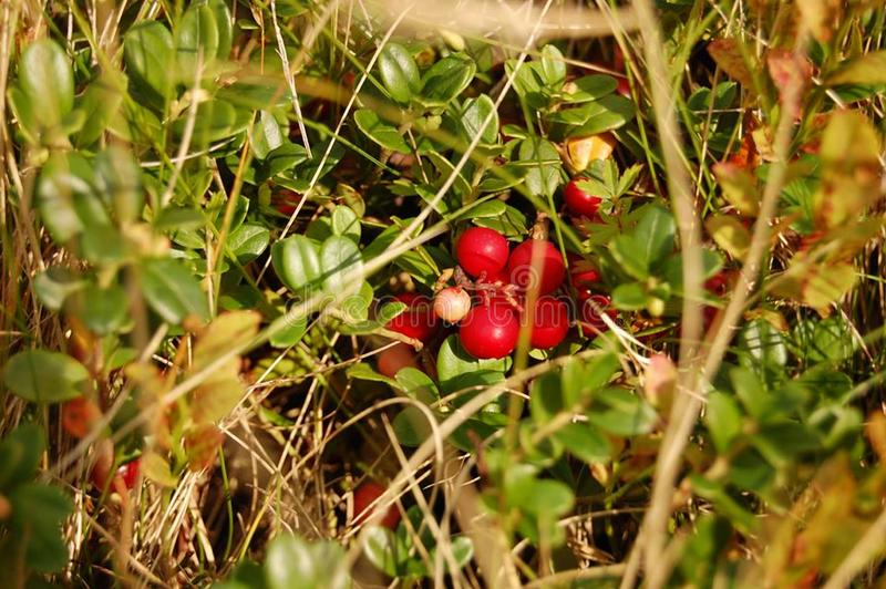 Ripe lingonberry bush under the hot autumn sun. A bush of ripe lingonberries under the hot autumn sun. Red berry hid in green leaves stock image