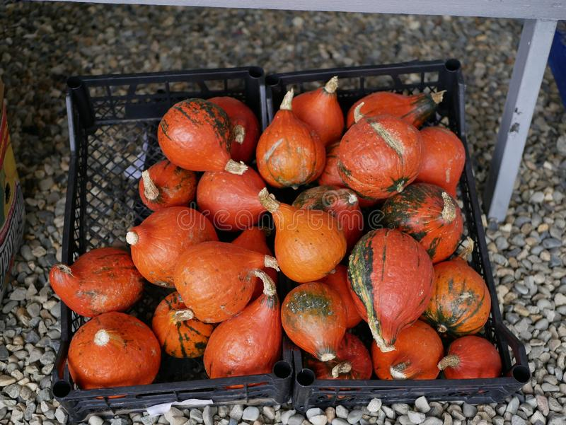 Ripe little orange pumpkins. Pumpkin harvest. Preparing for Halloween. Natural vitamin. Organic food. Farm. Vegetarian food. royalty free stock photos