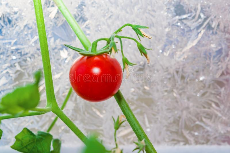 Ripe little red cherry tomato on a green branch grown in winter at home on a window sill royalty free stock images