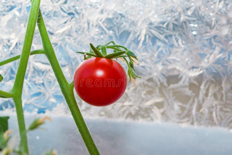 Ripe little red cherry tomato on a green branch grown in winter at home royalty free stock photo