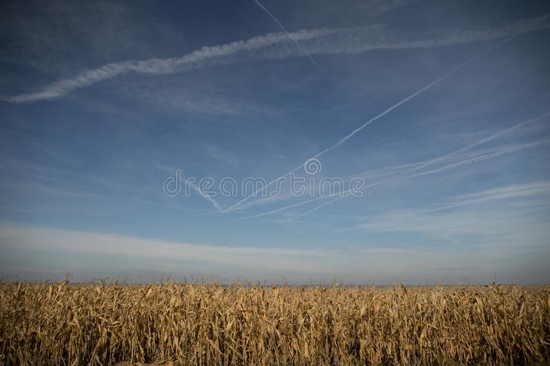 Ripe Maize Corn Field Plantation In Summer Agricultural Season. Skyline Horizon, Blue Sky Background. Autumn and harvest. Ripe Maize Corn Field Plantation In royalty free stock photo