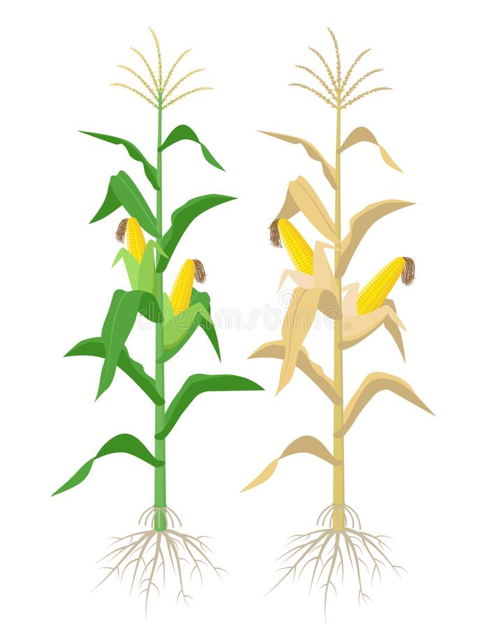 Ripe Maize plants isolated on white background with yellow corncobs vector illustration in flat design. Mature corn royalty free illustration
