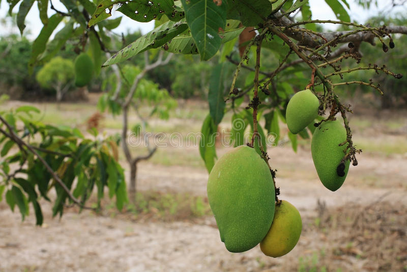 Download Ripe Mangoes Hanging On Trees Stock Photo - Image: 99237442