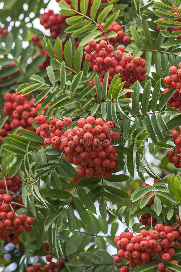 Ripe mountain ash berries stock photo