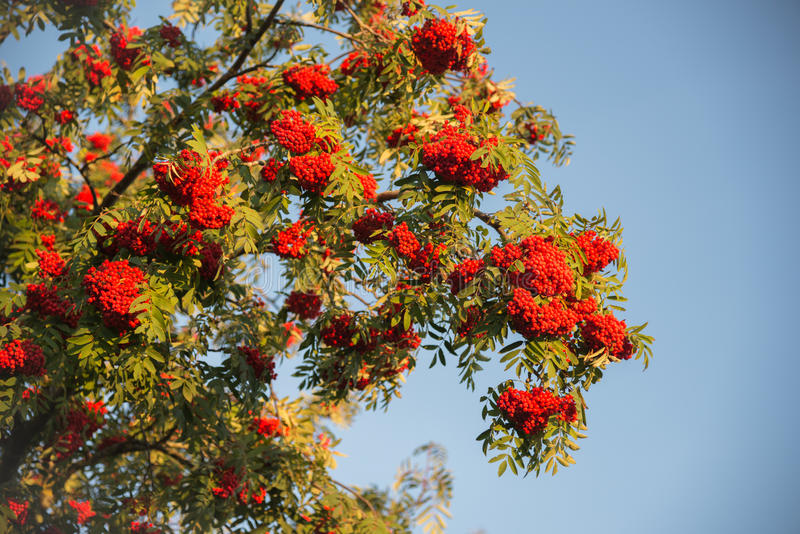 Ripe mountain ash stock images