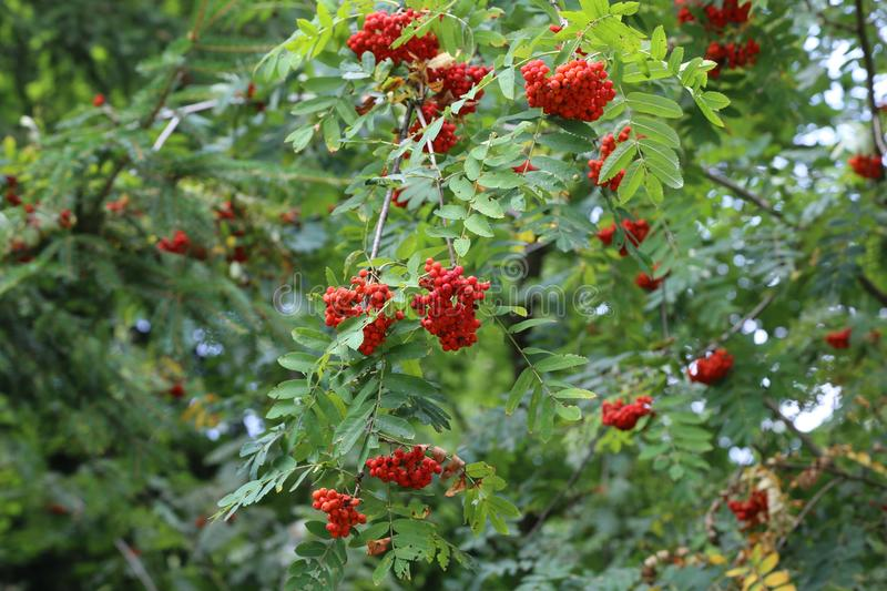 Ripe mountain ash on branches. Forest / Ripe mountain ash on branches stock photo