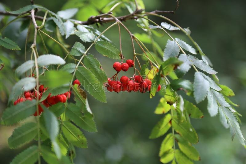 Ripe mountain ash on branches.  stock photography