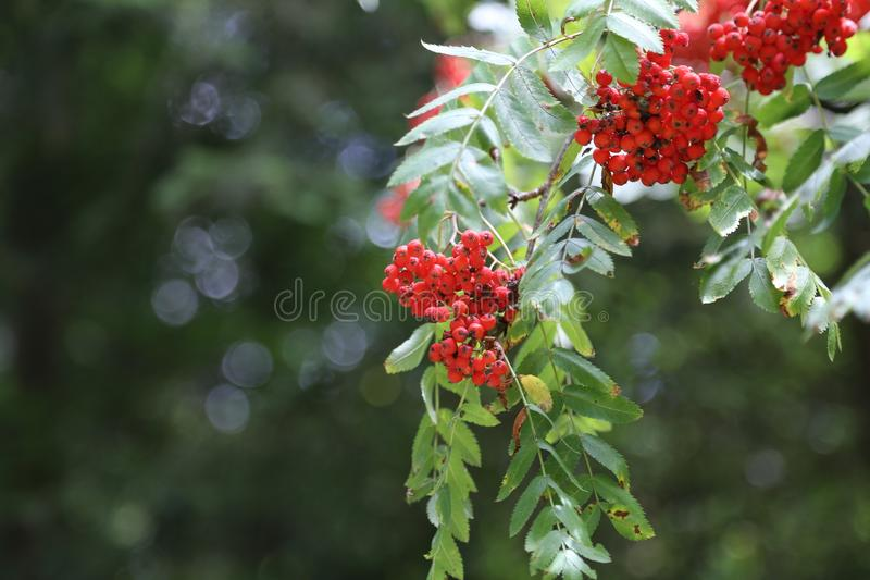 Ripe mountain ash on branches.  stock photo