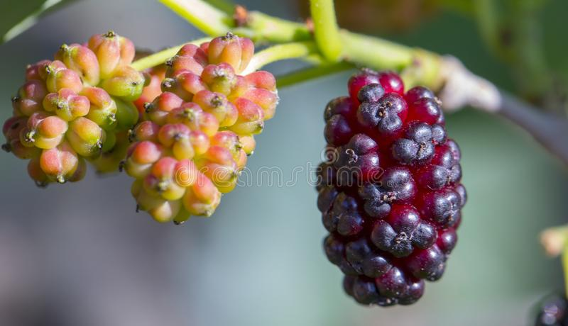 Ripe mulberry berry on a tree branch close-up. Ripe beautiful mulberry berry on a tree branch close-up stock photography