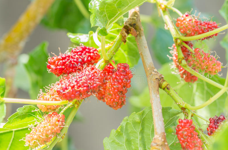 Ripe mulberry fruit on twig. stock photography