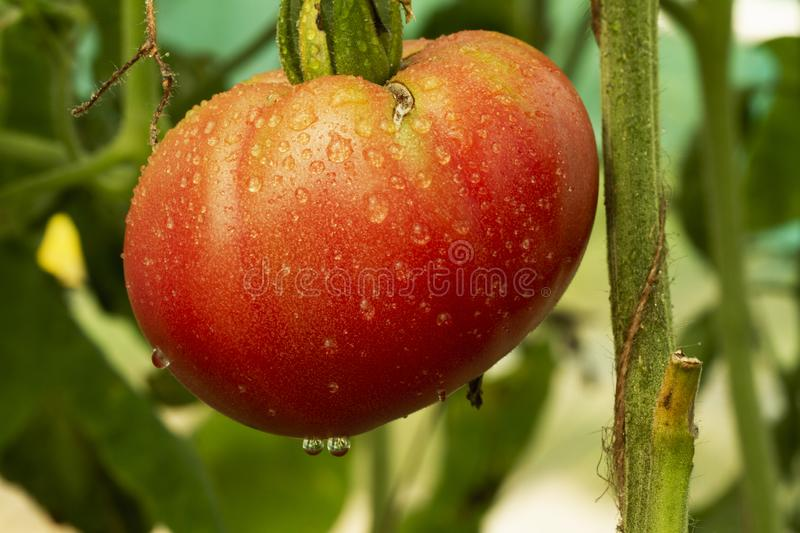 Ripe natural red tomato ready for harvest grows on a branch in a greenhouseShallow depth of field. large organic tomato stock images