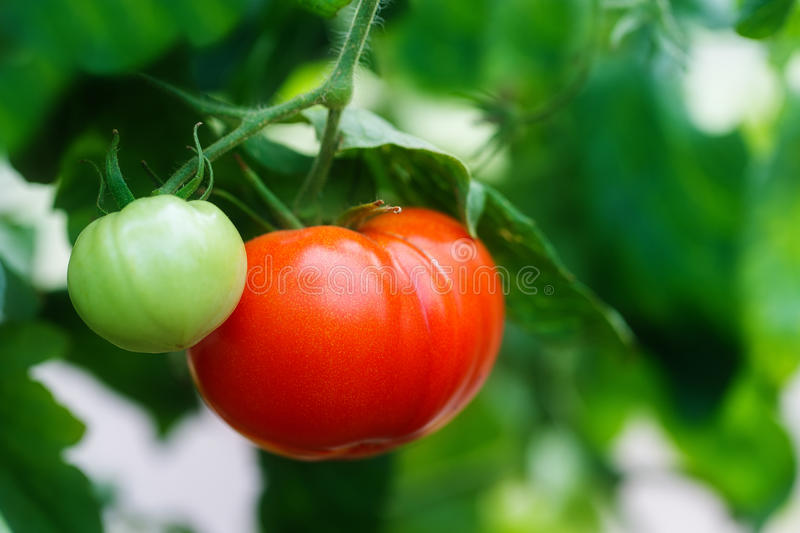Ripe natural tomatoes growing on a branch in a greenhouse stock image