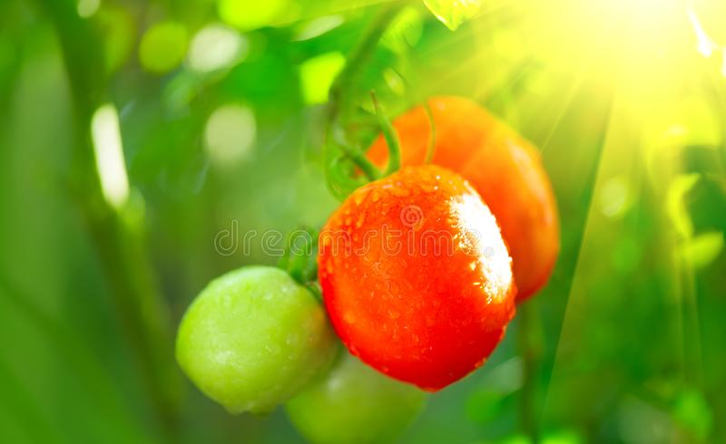 Ripe natural tomatoes ready for the harvesting. Growing organic tomato on a branch closeup royalty free stock images