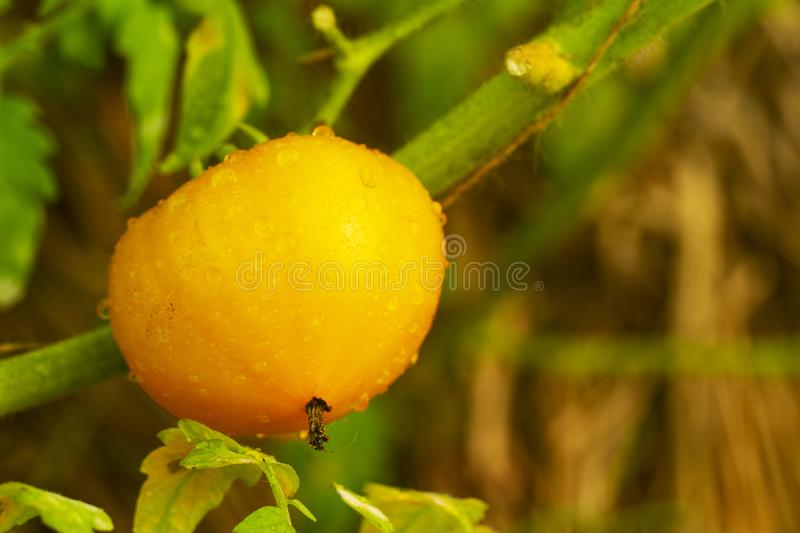 Ripe natural yellow tomato growing on a branch in a greenhouse. Shallow depth of field. organic tomato with water drops royalty free stock photos