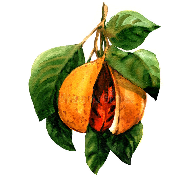 Ripe nutmeg, Myristica fragrans, branch with leaves and seed isolated, watercolor illustration. On white background royalty free illustration