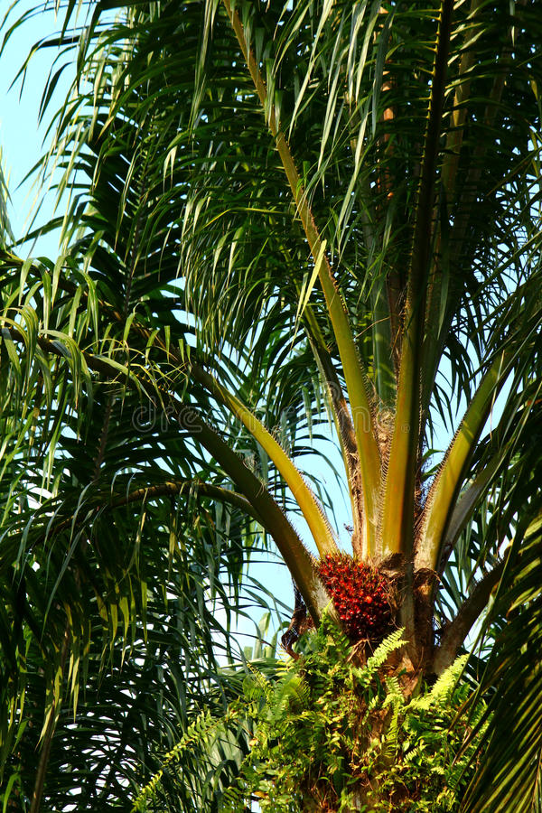Download Ripe oil palm fruit stock image. Image of asia, industries - 25348087