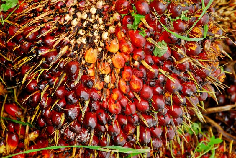 Download Ripe oil palm fruit bunch stock photo. Image of production - 26202600