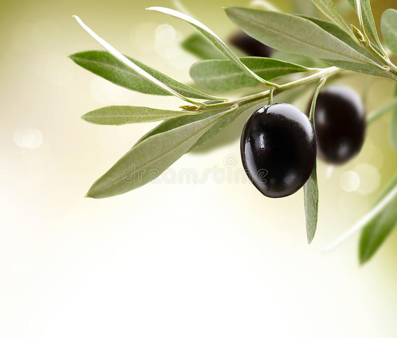 Ripe Olives on a tree stock image