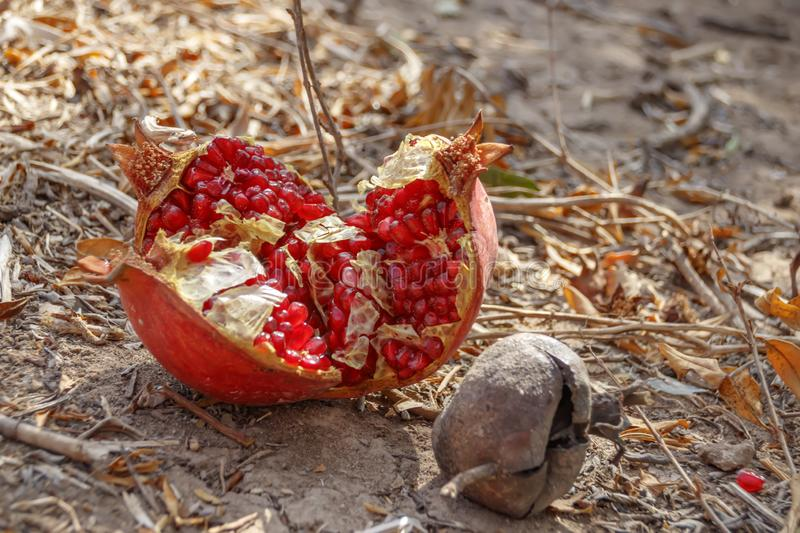 Ripe open pomegranate lying on the ground stock image