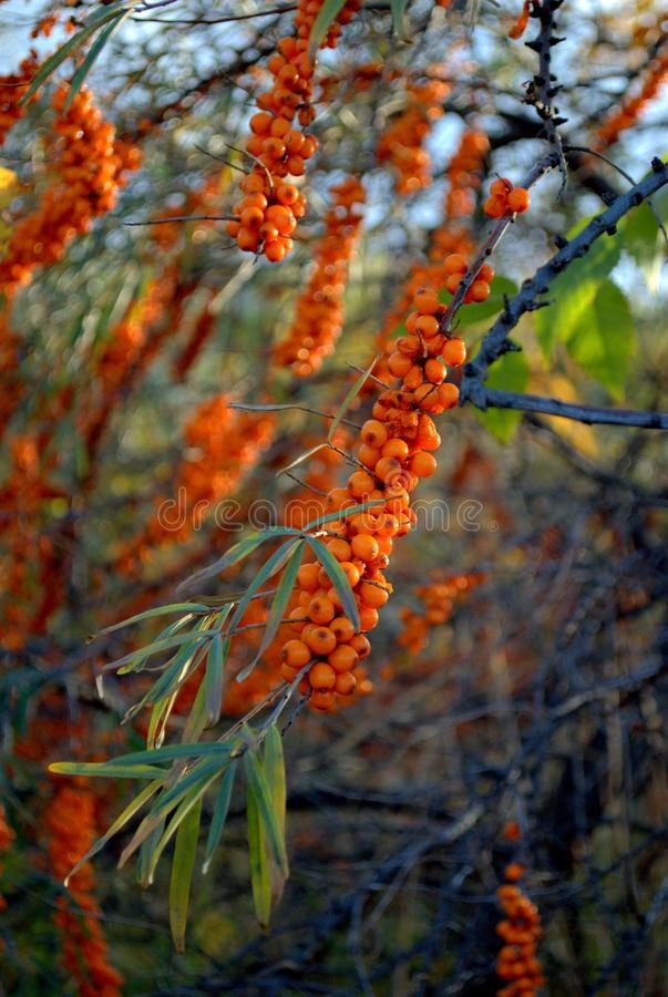 Sea buckthorn berries on a branch. Ripe orange sea buckthorn berries on a branch royalty free stock images