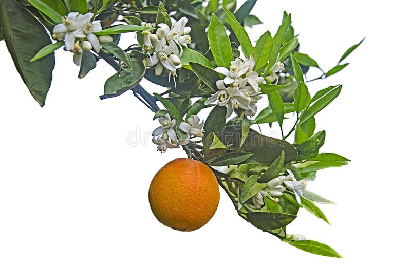 Ripe orange  on tree royalty free stock photo