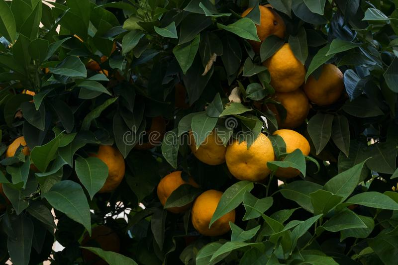 Ripe oranges grow between the foliage on the tree, full frame, selected focus. Ripe oranges grow between the dark foliage on the tree, full frame, selected focus stock photos