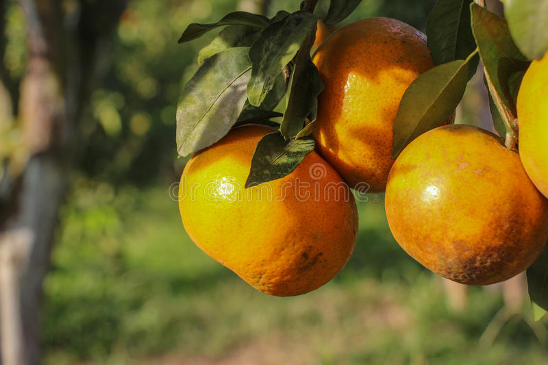 Ripe oranges hanging on a tree royalty free stock photo