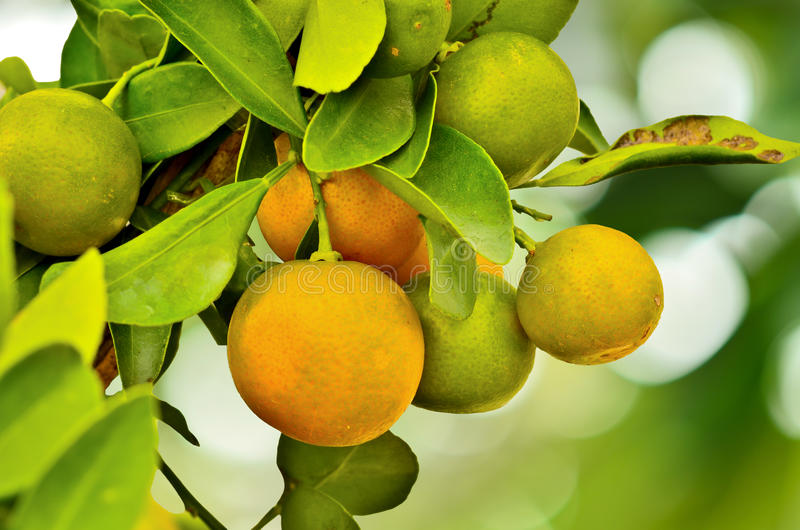 Ripe oranges hanging on a tree. And nature background stock image