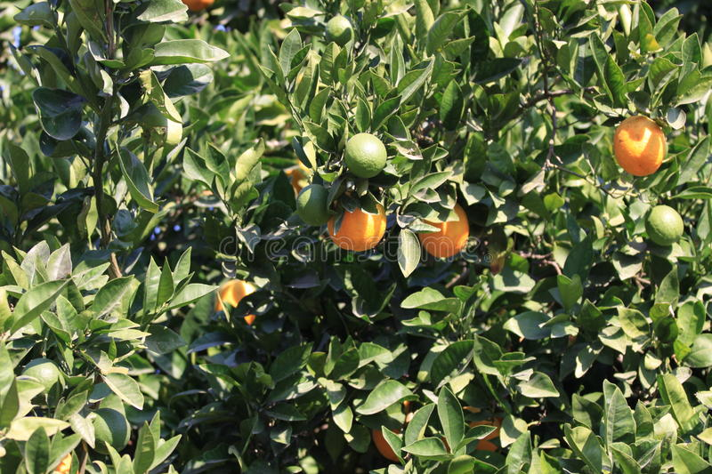 Download Ripe oranges on tree stock photo. Image of summery, green - 10920338