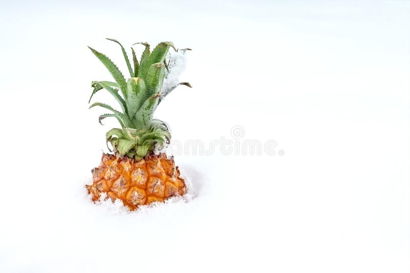 Ripe organic baby pineapple in snow. Bright sweet tropical fruit in winter outdoors.Spring coming concept. Travelling to warm. Countries at winter stock photos