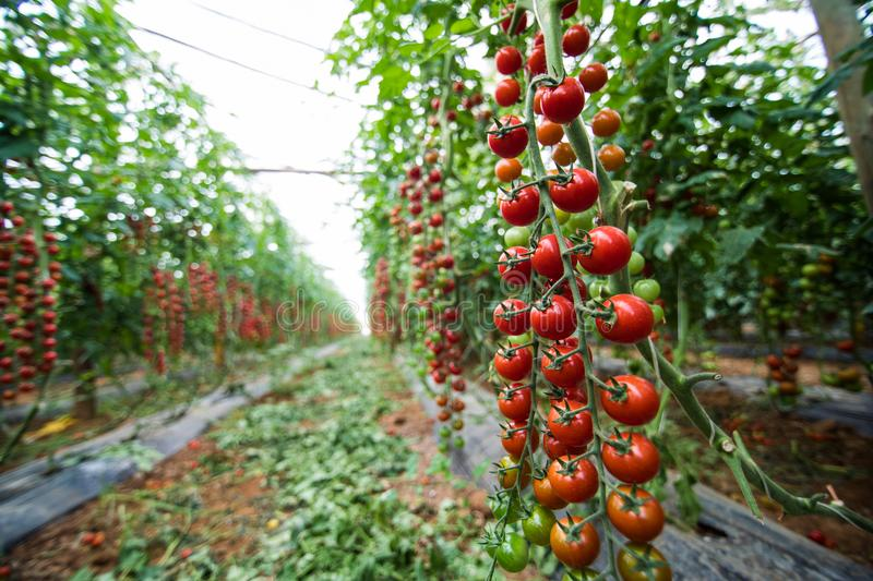 Ripe organic cherry tomatoes in garden house ready to harvest growth. Agriculture harvest royalty free stock image