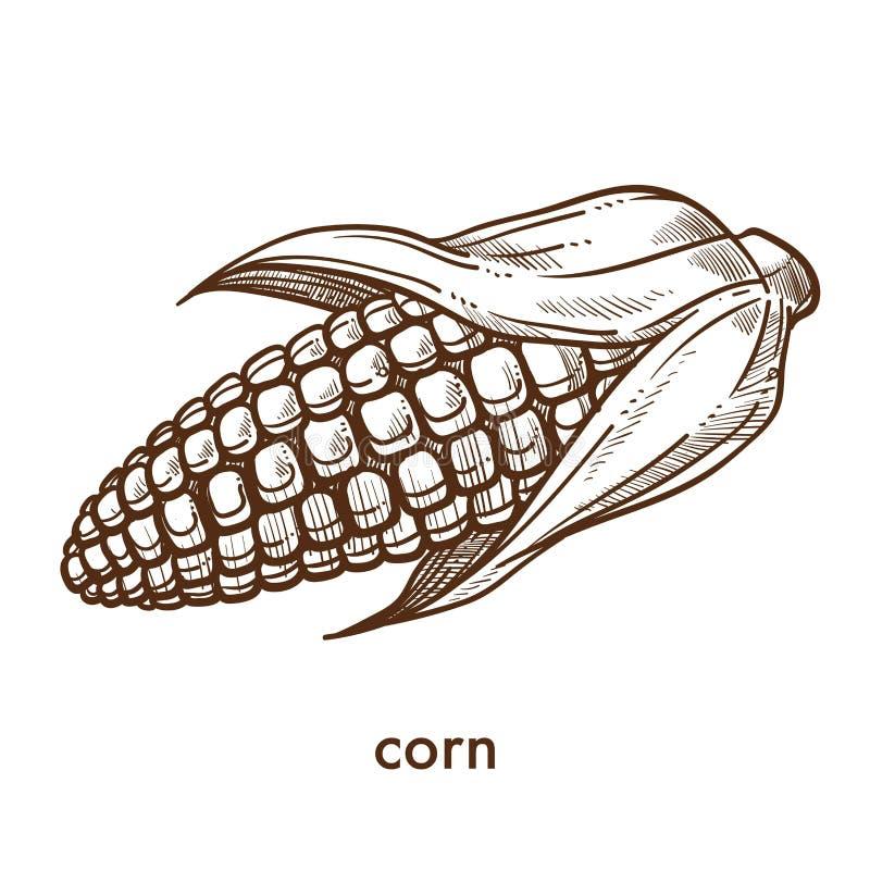 Free Ripe Organic Ear Of Corn Grown At Fram Monochrome Sketch Royalty Free Stock Photos - 113613798