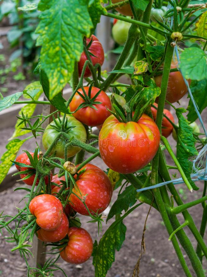 Ripe organic tomatoes in garden ready to harvest stock images