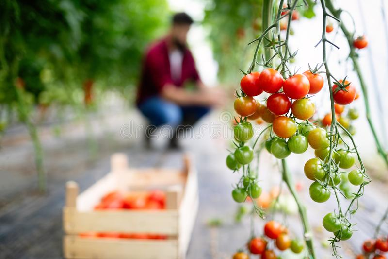 Ripe organic tomatoes growing on a branch in a greenhouse stock photos
