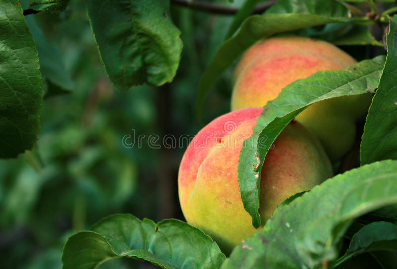 Ripe peach. Photo of ripe peaches on a tree branch, several fruits, summer harvest and fruits, tender peaches, a picture of summer, a sort of peach with red royalty free stock photo