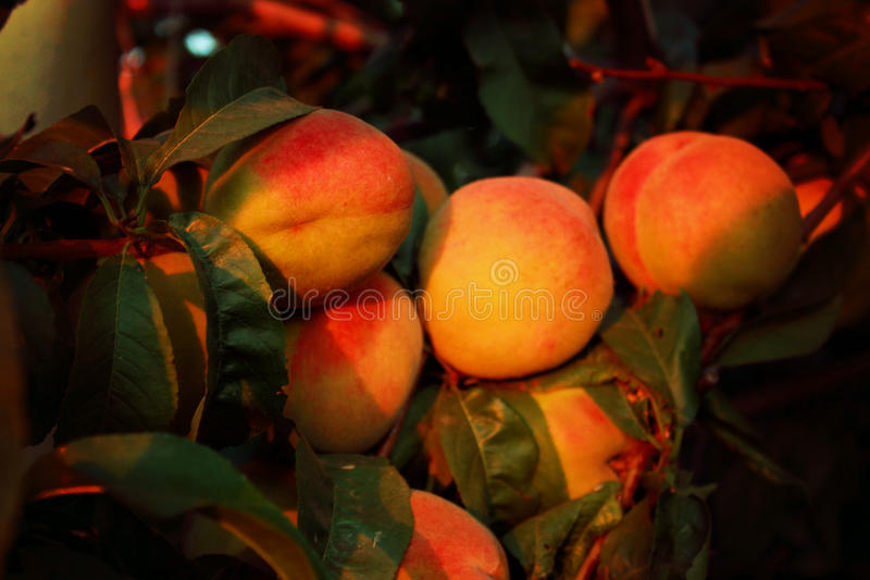 Ripe peach. Photo of ripe peaches on a tree branch, several fruits, summer harvest and fruits, tender peaches, a picture of summer, a sort of peach with red stock photos