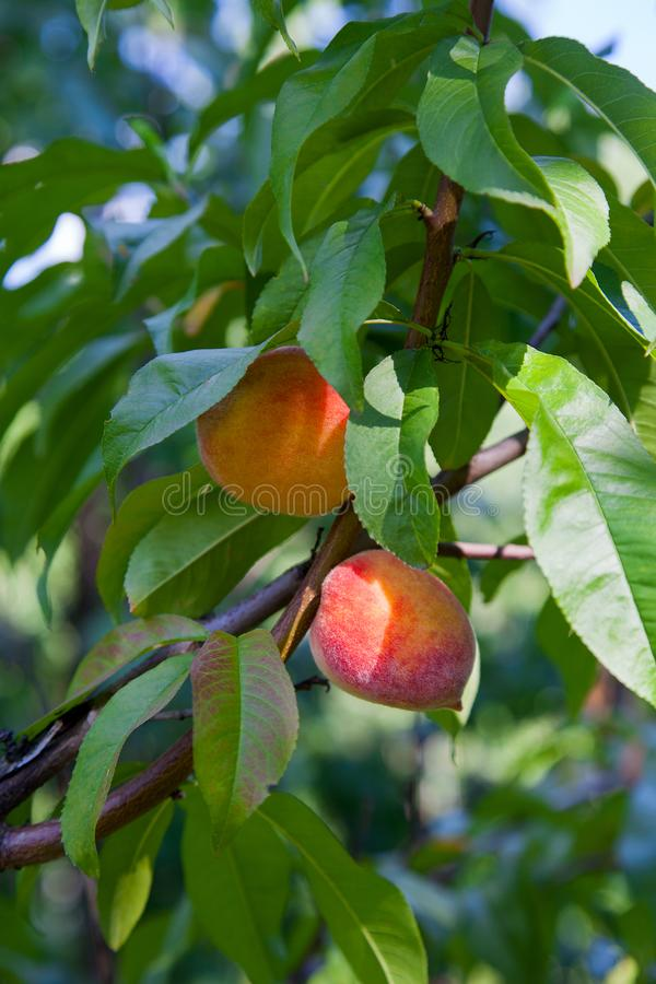 Ripe peaches on tree branch. Close up view of peaches grow on peach tree branch with leaves stock image