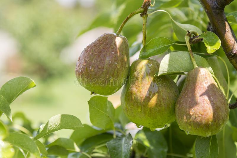 ripe pear, pear tree. William Bon Chretian pears ripening on the tree. A pair of ripe pears on the branches. stock photos