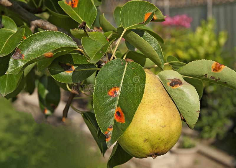 Ripe Pear on a tree with pear rust leaves stock photos