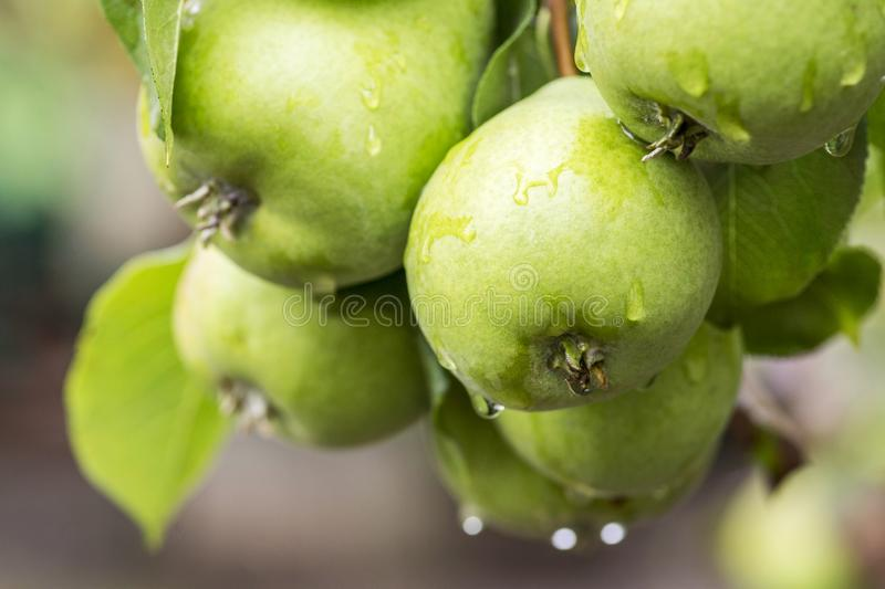Ripe pears with water drops on a pear tree among foliage in an orchard closeup. Ripe pears with rain drops hanging on the tree stock image