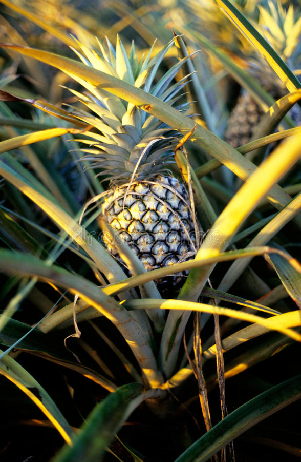 Ripe pineapple on a plantation on the island of Oahu, Hawaii royalty free stock photo
